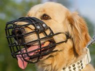 Golden Retriever dog muzzles