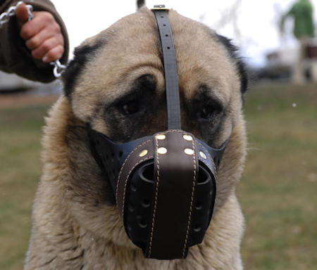Anatolian-Shepherd leather dog muzzle